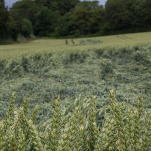 """""""wheat after storm"""" stock image"""