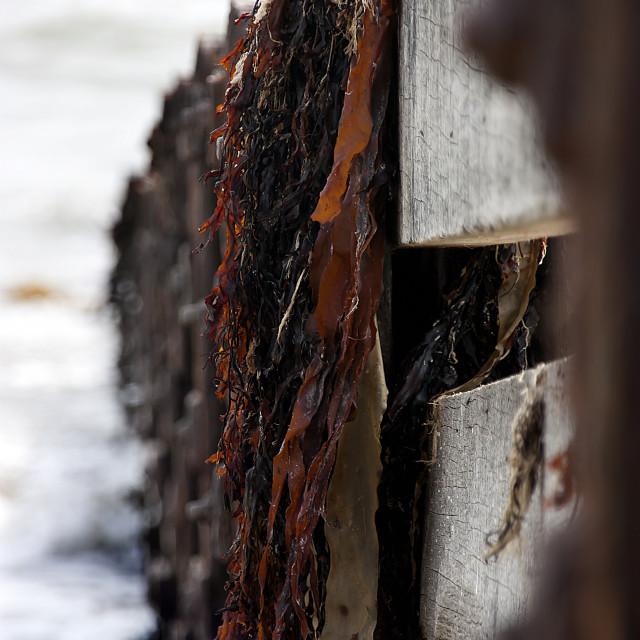 """Seaweed"" stock image"