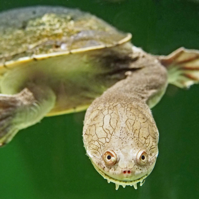"""""""snake necked turtle"""" stock image"""