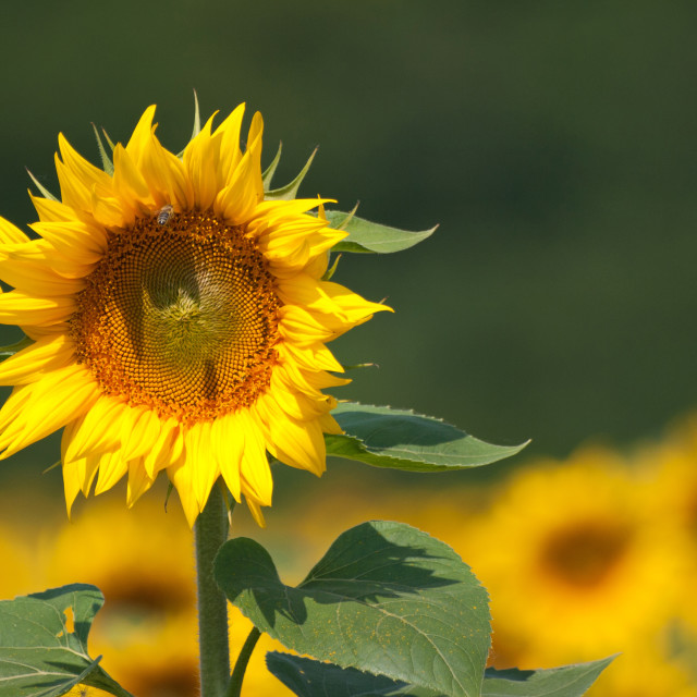 """sunflower in the field"" stock image"