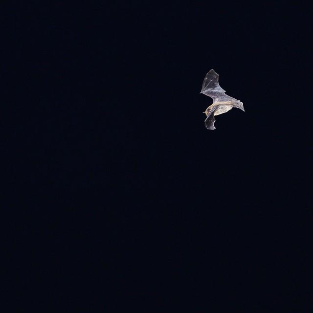 """Night bat"" stock image"