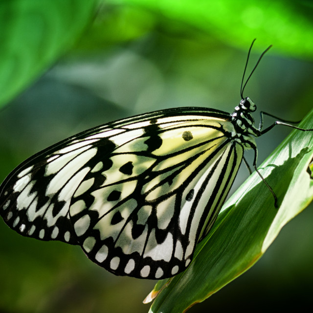 """Rice Paper Butterfly"" stock image"