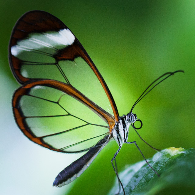 """Macro photograph of a Glasswinged Butterfly"" stock image"