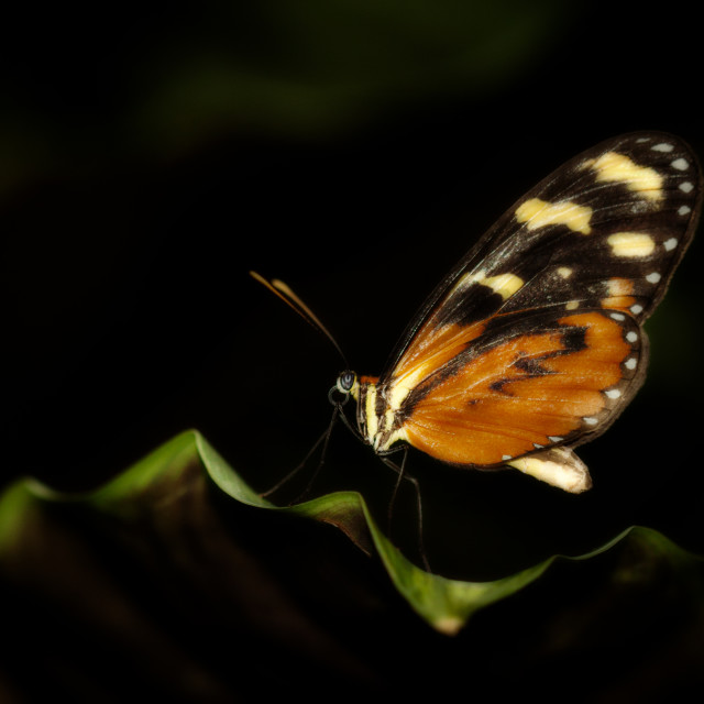 """""""Tiger Monarch Butterfly"""" stock image"""