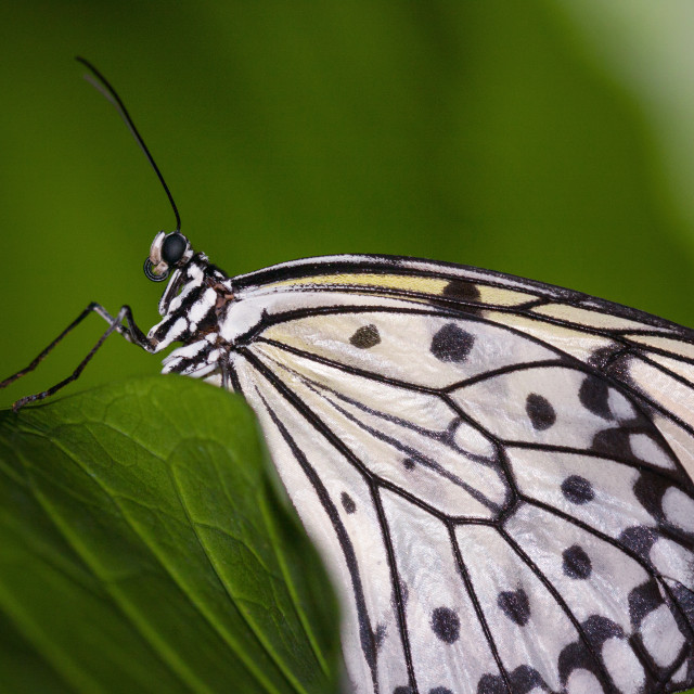 """""""The Paper Kite Butterfly"""" stock image"""