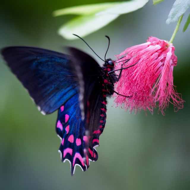 """Pink Cattleheart Butterfly"" stock image"
