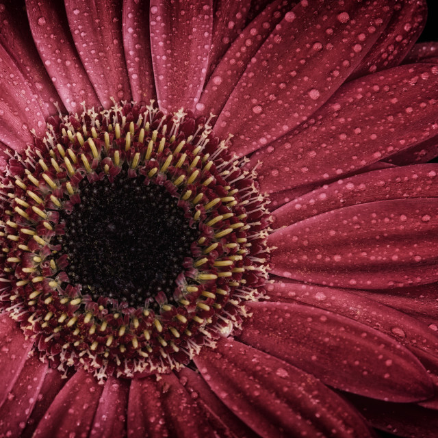 """Dew on a Gerbera Daisy"" stock image"