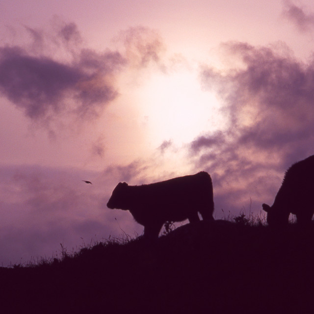 """Cattle at sunset"" stock image"