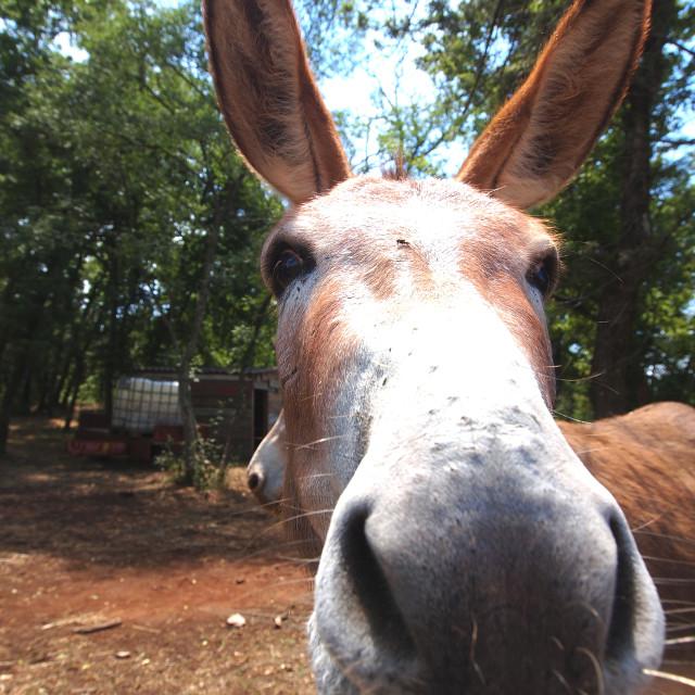 """""""face of donkey"""" stock image"""