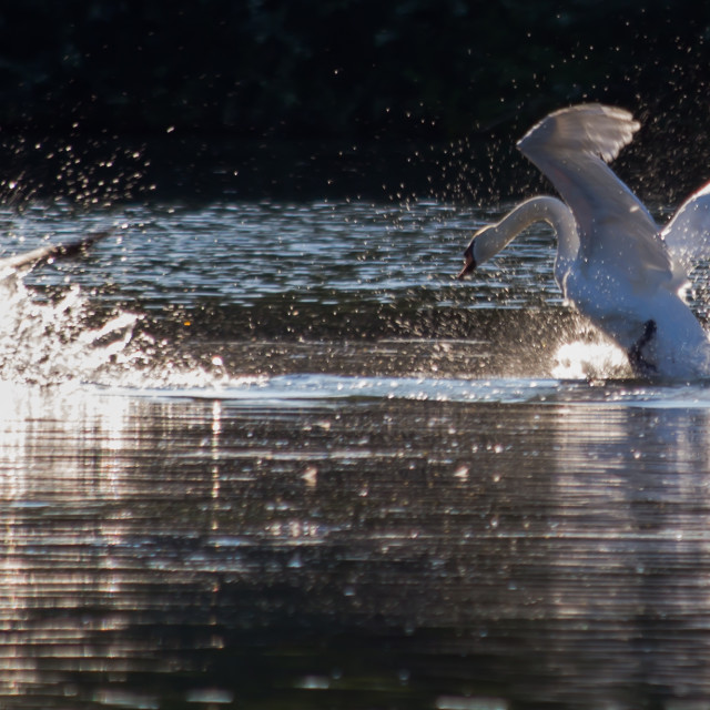"""Attack Swan"" stock image"