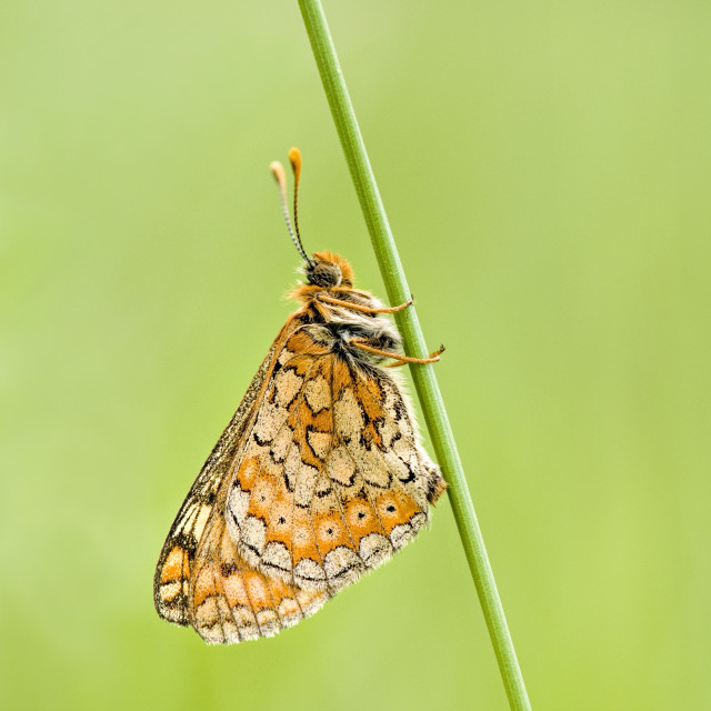 """Marsh Fritillary Butterfly"" stock image"
