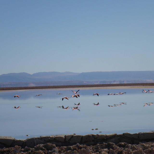"""Flamingos San Pedro de Atacama"" stock image"