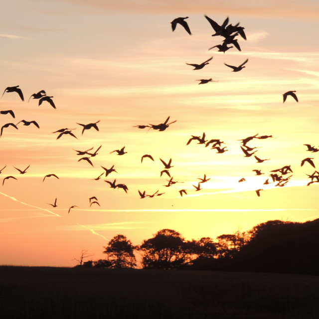 """Dawn flight of Baranacle Geese"" stock image"