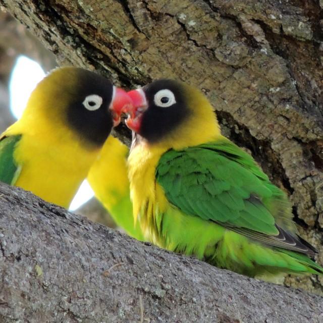 """""""Lovebirds kiss"""" stock image"""