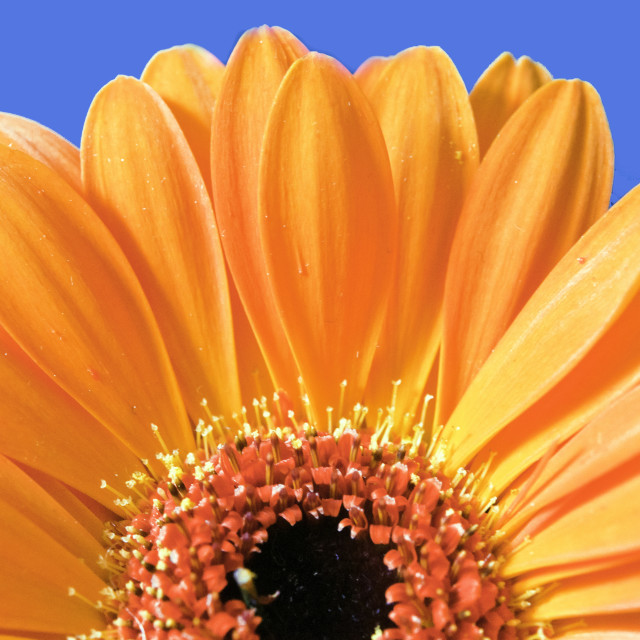 """Orange gerbera"" stock image"