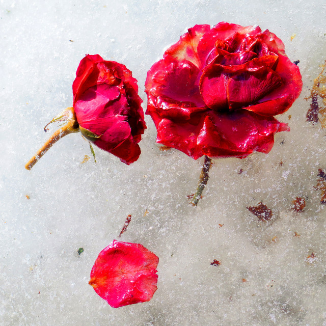 """frozen flowers"" stock image"