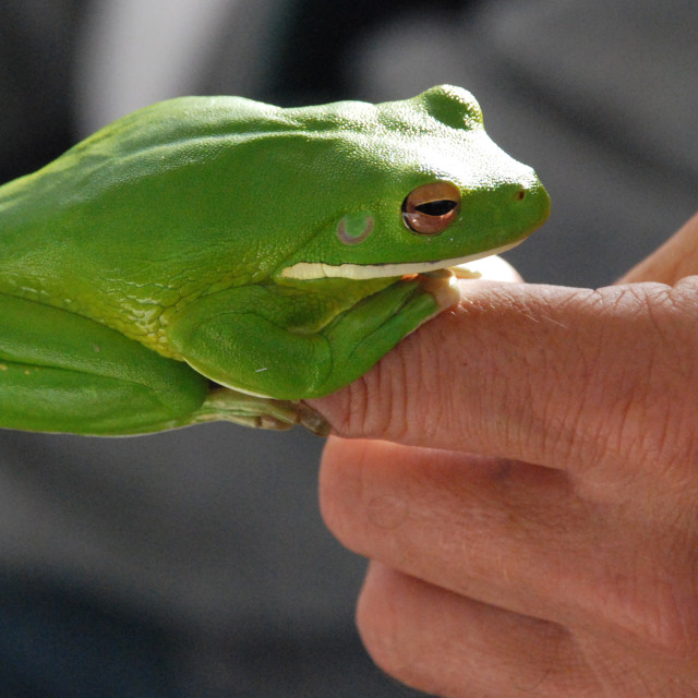 """Tree Frog, Australia"" stock image"