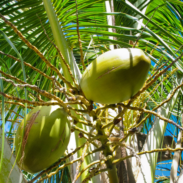 """Coconuts on a palm tree in Barbados"" stock image"