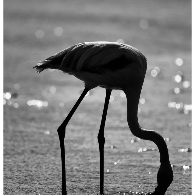 """Flamingo#2"" stock image"