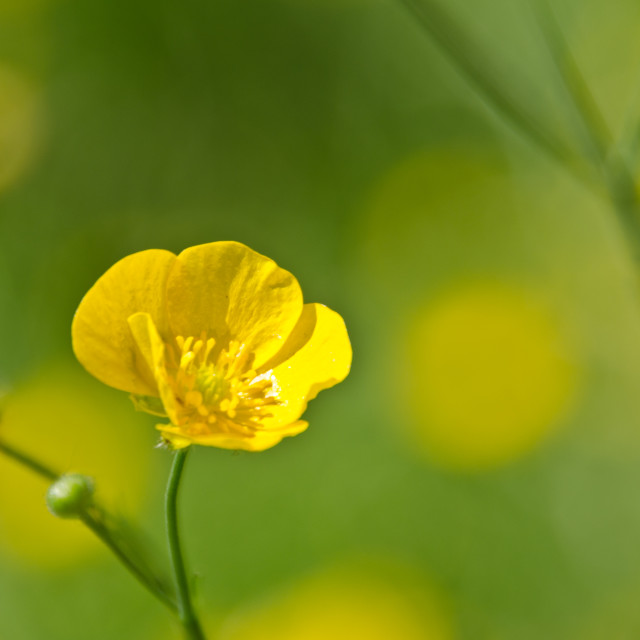 """""""Buttercup 2"""" stock image"""
