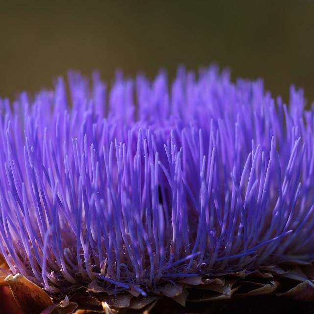 """""""arthichoke flower"""" stock image"""