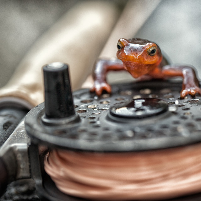 """""""Newt On A Fishing Reel"""" stock image"""