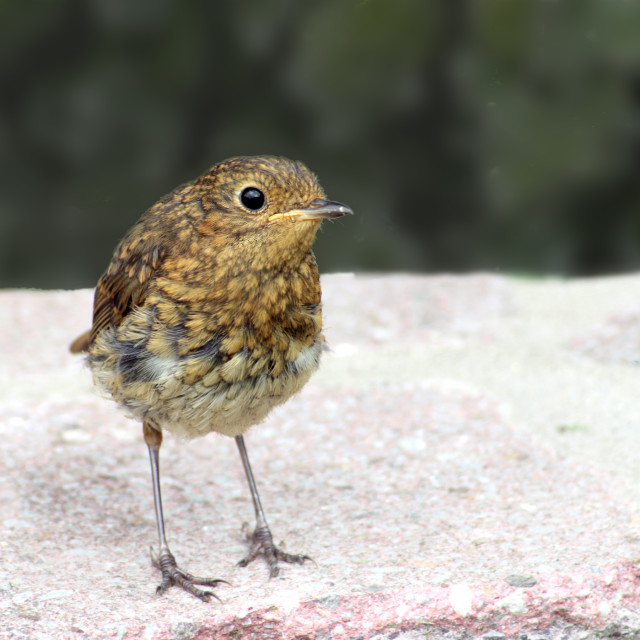 """Robin, a young fledgling"" stock image"