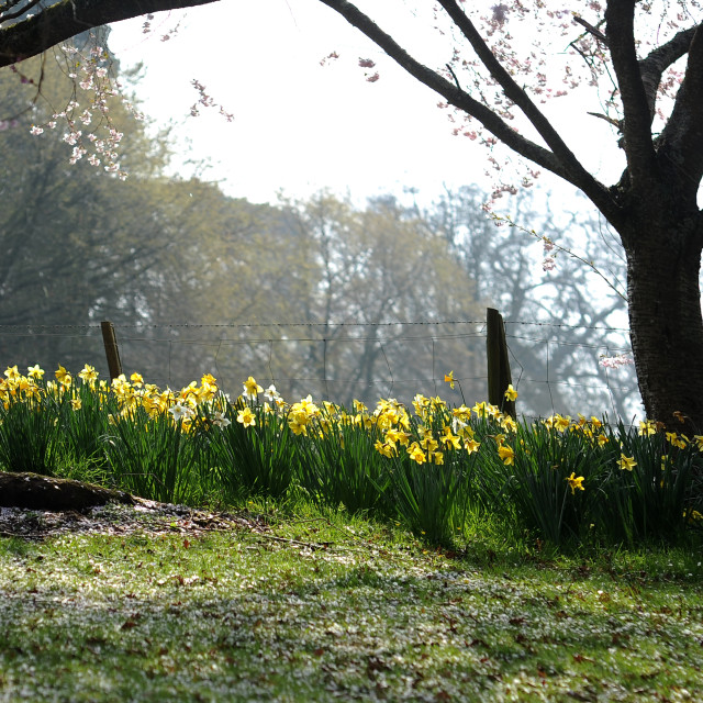 """""""Spring sun blessed daffodils"""" stock image"""