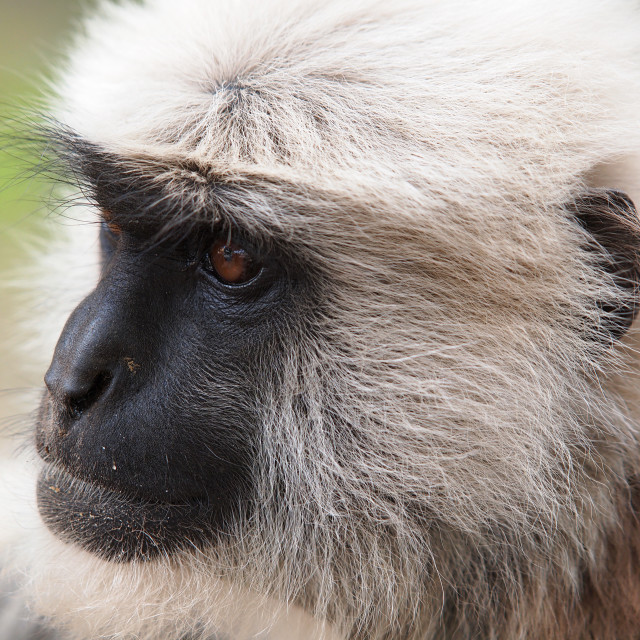 """""""white monkey"""" stock image"""