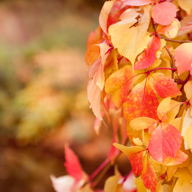 """""""vine red yellow leaves abstract"""" stock image"""