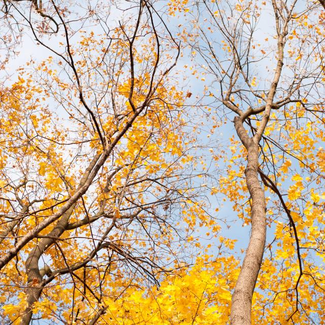 """autumn leaves on trees"" stock image"