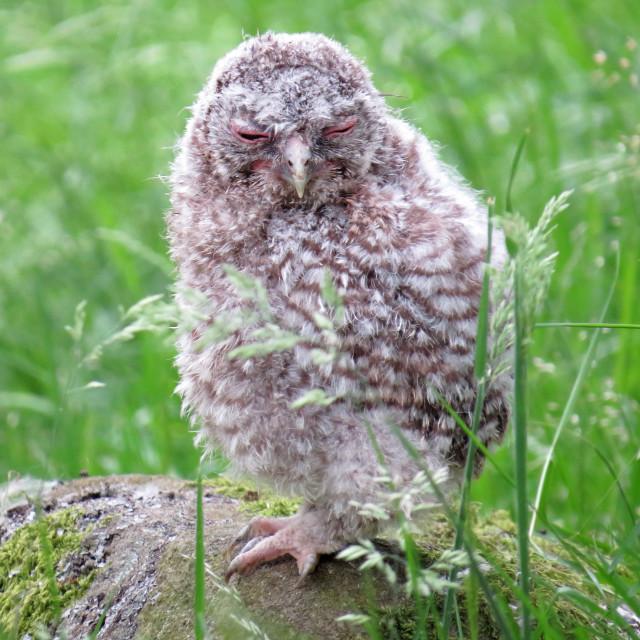 """Tawny Owlet"" stock image"
