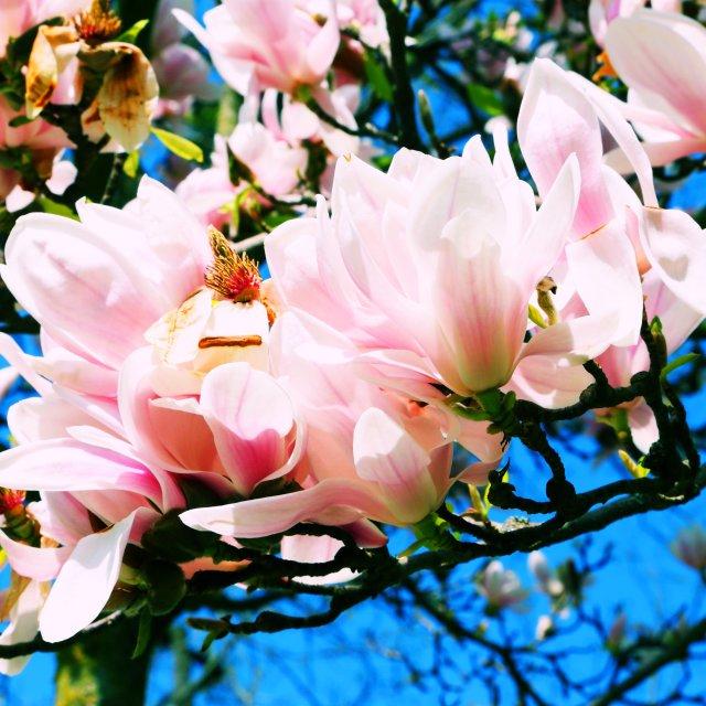 """Magnolia"" stock image"