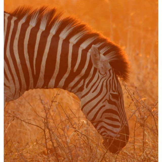 """Orange Dust Zebra"" stock image"