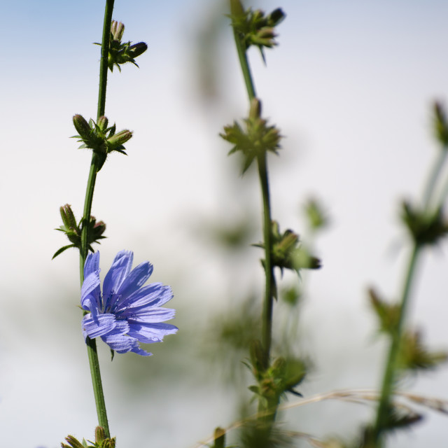 """Chicory flower"" stock image"