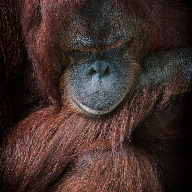 """Portrait of an Orangutan"" stock image"
