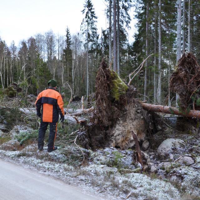 """Inspecting fallen trees"" stock image"