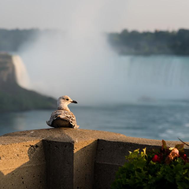 """Seagull admiring Niagara Falls"" stock image"