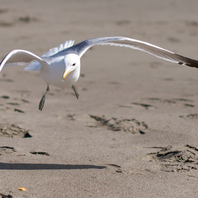 """Seagull landing on a sandy beach"" stock image"