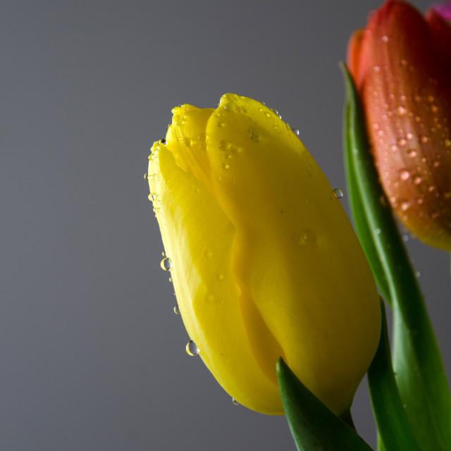 """Tulips Close-up"" stock image"