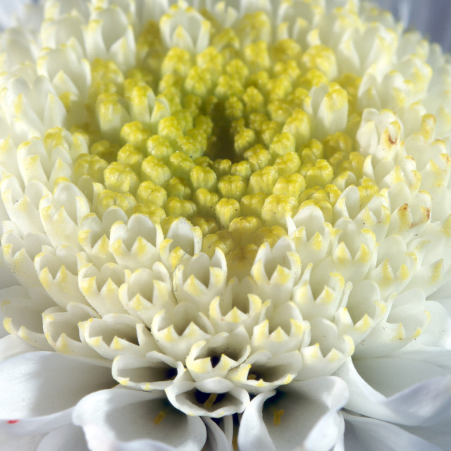 """""""Extreme macro of white and yellow flower"""" stock image"""