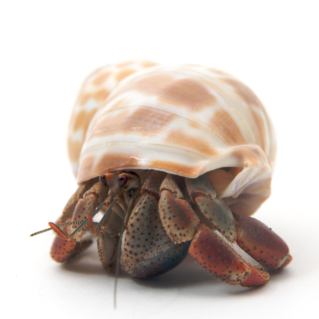 """A pet hermit crab rests isolated on white faces camera"" stock image"