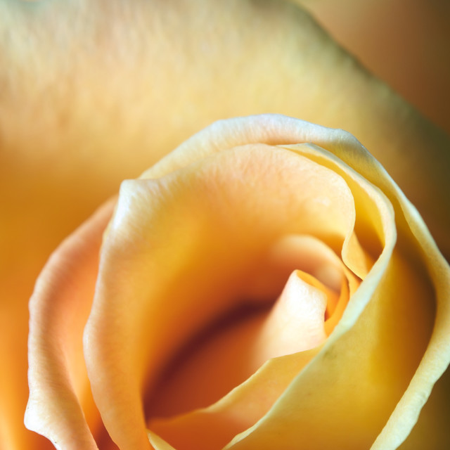 """""""Close up of a yellow rose with very shallow depth of field"""" stock image"""