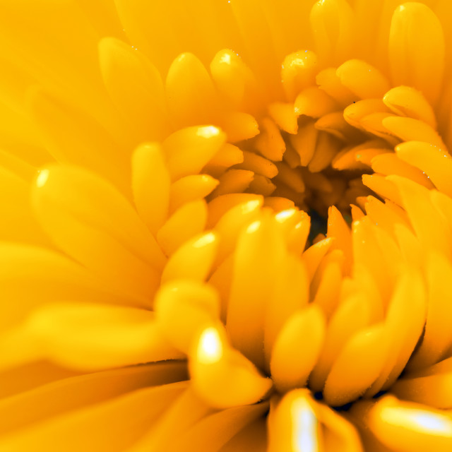 """Horizontal close up of a yellow flower"" stock image"