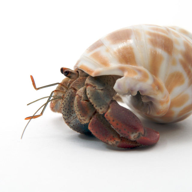 """A pet hermit crab rests isolated on white faces left"" stock image"