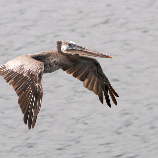 """Pelican flies low over water to the right"" stock image"