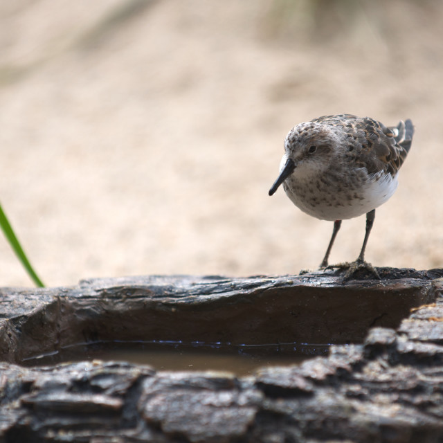 """""""Bird drinking water from artificial rock"""" stock image"""
