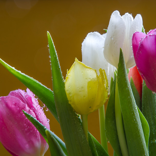 """Detail of tulips bouquet"" stock image"