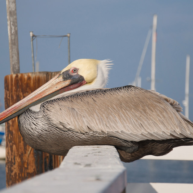 """Horizontal of a pelican rests along a fence on a pier"" stock image"