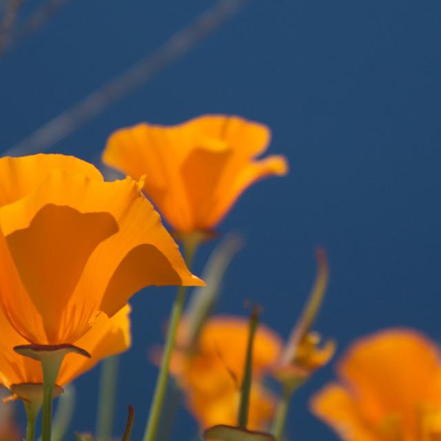 """Close up of orange poppy flowers"" stock image"